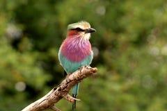 breasted lilac roller Στοκ Εικόνες