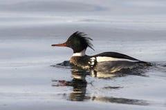 Мужской красно--breasted Merganser плавая на залив Стоковые Изображения