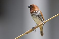 breasted munia чешуистое Стоковое фото RF