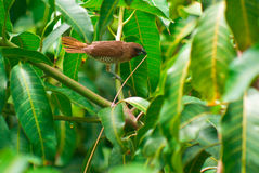 breasted munia чешуистое Стоковое Фото