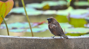 breasted munia чешуистое Стоковые Фото