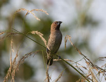 breasted munia чешуистое Стоковая Фотография