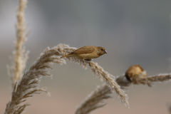 breasted munia чешуистое Стоковая Фотография RF