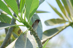 breasted munia чешуистое Стоковое Изображение