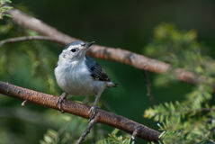 breasted nuthatch садился на насест белизна вала Стоковые Фото