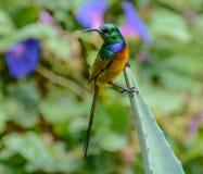 breasted pomarańczowy sunbird Zdjęcie Stock