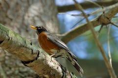 Breasted rosso Robin Fotografia Stock Libera da Diritti