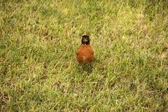 Breasted vermelho Robin Facing Imagens de Stock