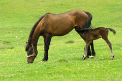 Breastfeeding colt. In the green carpet Royalty Free Stock Photos