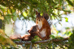 Breastfeeding Cute Red Squirrel Close-up Portrait Stock Photos