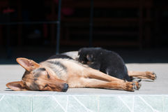 Breastfeeding german shepherd Stock Photography