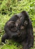 breastfeeding gorillamoder Arkivbilder