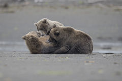 A breastfeeding Grizzly bear with two cubs. Stock Photo