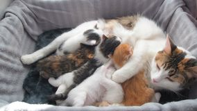 Breastfeeding kittens. Happy cat family. Mom cat gives milk feeding and takes care of her cute kitten. Mother cat having