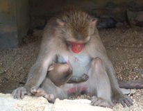 Breastfeeding monkey and baby Stock Photos