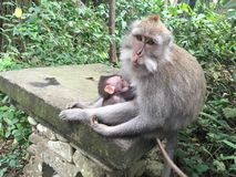 Breastfeeding monkey. Mother monkey feeding her baby in monkey forest Ubud Bali Stock Photography