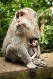 Breastfeeding monkey Stock Image