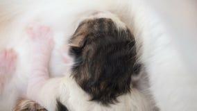Breastfeeding nowonarodzona figlarka zamkni?ta w g?r? ?liczna kot rodzina Mama kot daje dojnemu karmieniu i bierze opiek? jej ?li zbiory wideo
