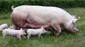 Little pigs breast-feeding closeup at animal farm rural scene. Breastfeeding piglets on animal farm on the meadow royalty free stock image