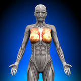 Breasts - Female Anatomy Muscles. Breasts - Female human Anatomy Muscles Royalty Free Stock Images