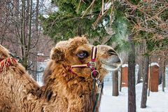 Breath of the Camel. Archangelskoe Manor 2009. royalty free stock photos