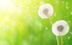 Breath of spring - dandelions Royalty Free Stock Photos