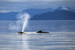 Breath of a Whale. Humpback whale in Alaska's Inside Passage breathing on the surface with mountains in the background royalty free stock photo
