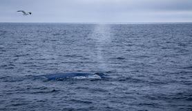 Breath of the whale. This shoot was captured on the way to Channel Island, California. The blue whale was breathing just several steps away from us stock images