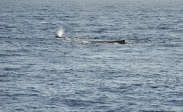 Breathe of the Whale Caf with his mother in the Indian Ocean nea. R Reunion Island Stock Images