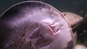 Breathing gills Stingray leopoldi on the sandy bottom of the aquarium, bottom view, potamotrygon leopoldi, Marine life,