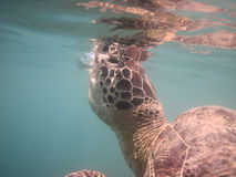 Breathing green sea turtle Royalty Free Stock Image