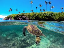 Breathing Green turtle on Maui Hawaii stock image