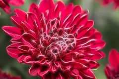 Breathless Blushing. Dahlias from my home garden. Use of Topaz Glow to make her sparkle Royalty Free Stock Images