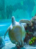 Breathtaking beautiful green or loggerhead turtle showing of his bottom belly and swimming up a marine sea life animal portrait royalty free stock images
