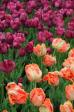 Breathtaking bed of colorful peach and purple tulips in landscaped garden Royalty Free Stock Image