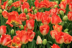 Breathtaking bed of colorful peach tulips in landscaped garden Royalty Free Stock Photo