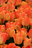 Breathtaking bed of peach colored tulips in landscaped garden Stock Image