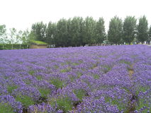 Breathtaking Bright Purple Lavender Field in Hokkaido Stock Photography