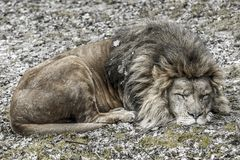 Image of a lion sleeping peacefully stock photography