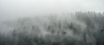 Breathtaking panorama of pine wood in fog Stock Image