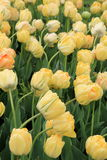 Breathtaking scene of yellow tulips Stock Photography