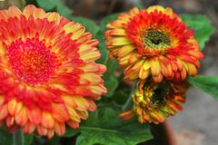 Multicolored gerber daisies burst into bloom. These breathtaking Strawberry Swirl gerber daisies explode into bloom, with green into gold into rose-colored royalty free stock photos