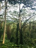 Trees in tropical rainforest Royalty Free Stock Photos