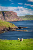 Breathtaking view to sheep on the edge of a cliff, Isle of Skye, Scotland Stock Photography
