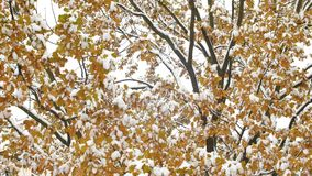 Breathtaking vivid nature view with maple leaves in first snowfall on solar blur background. Lovely autumn scene of. Breathtaking vivid nature view with maple stock video