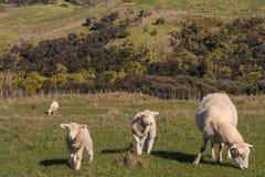 Brebis avec des agneaux frôlant dans le pré Image libre de droits
