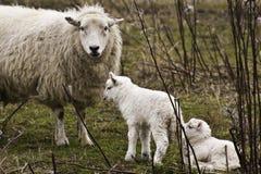 Brebis avec deux agneaux Photo libre de droits