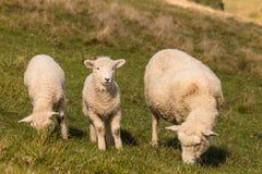 Brebis avec le pâturage de deux agneaux photo stock