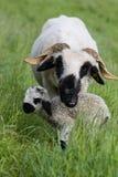 Brebis avec le vieil agneau de deux jours Images libres de droits