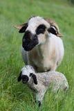 Brebis avec le vieil agneau de deux jours Photos libres de droits